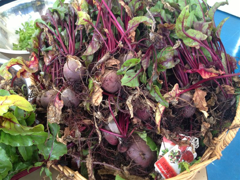garden beetroot.crop